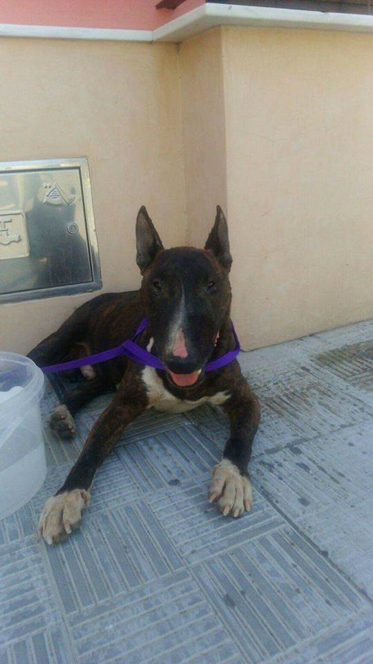 <b>ADOPTADO </b>– Urgente! Acogida para Bull terrier Macho