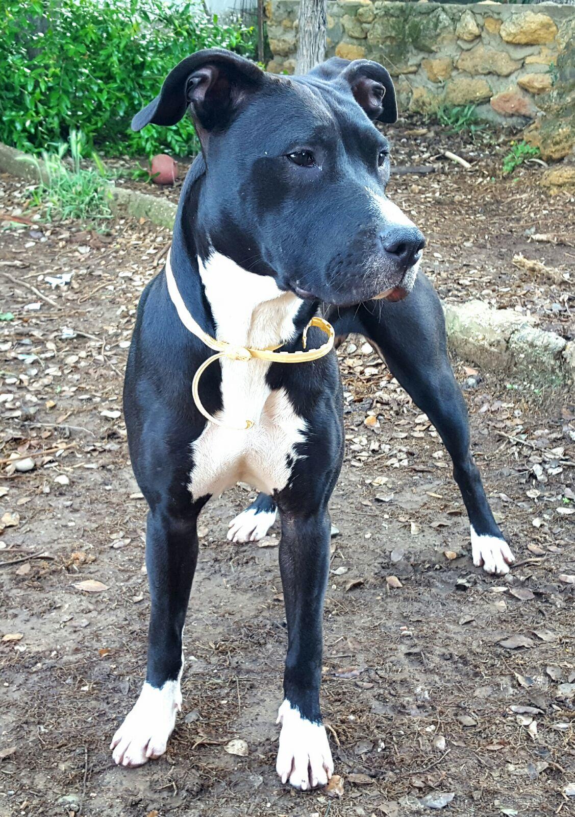 <b>ADOPTADA</b> – Kira, pitbull hembra de 10 meses, extremadamente cariñosa y sociable en adopción