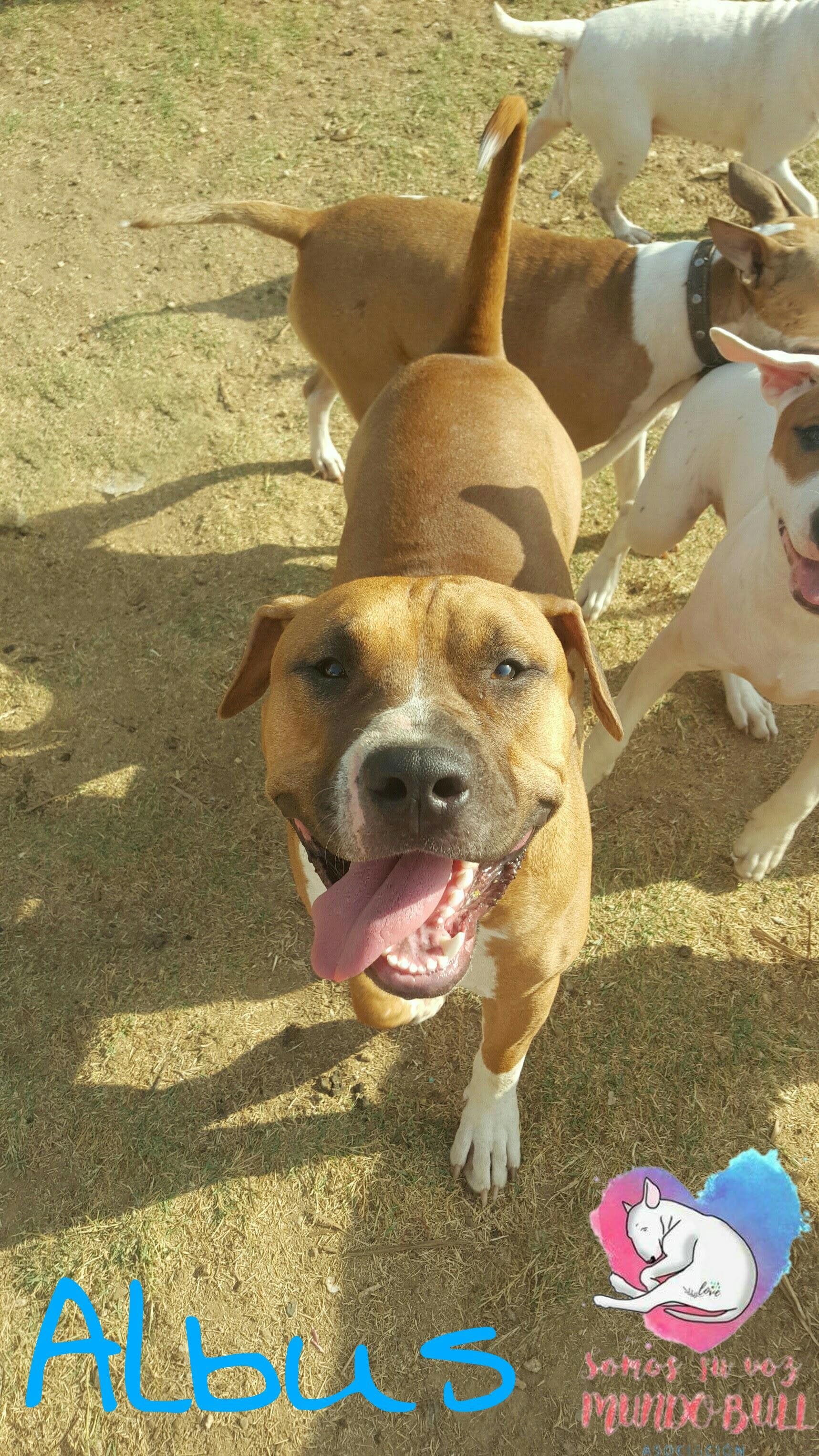 Albus Cachorro American staffordshire Busca Familia