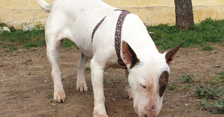 <b>ADOPTADA!! </b> Anita, Bull terrier de 3 años sociable y buena en adopción