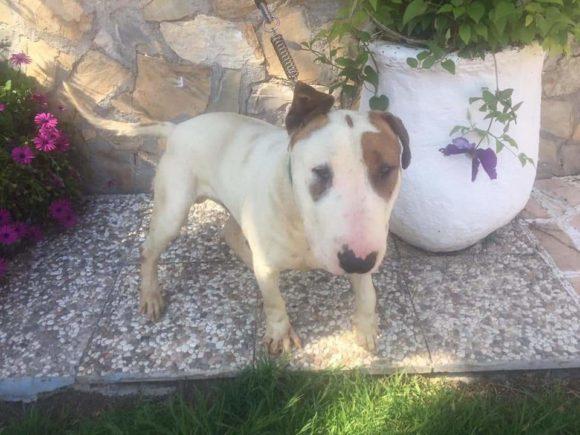 Curro, precioso cachorro Bull terrier