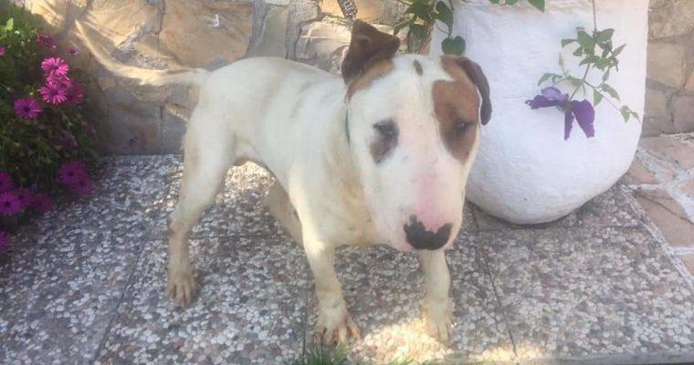 Curro, precioso cachorro Bull terrier en Adopción