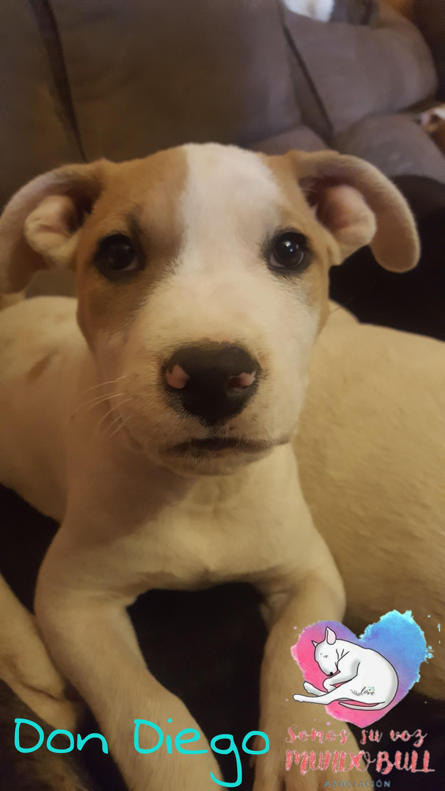 Cachorro Staffordshire bull terrier en adopción Don Diego
