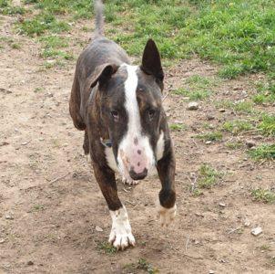 Fase, Bull terrier Macho de 4 años en adopción