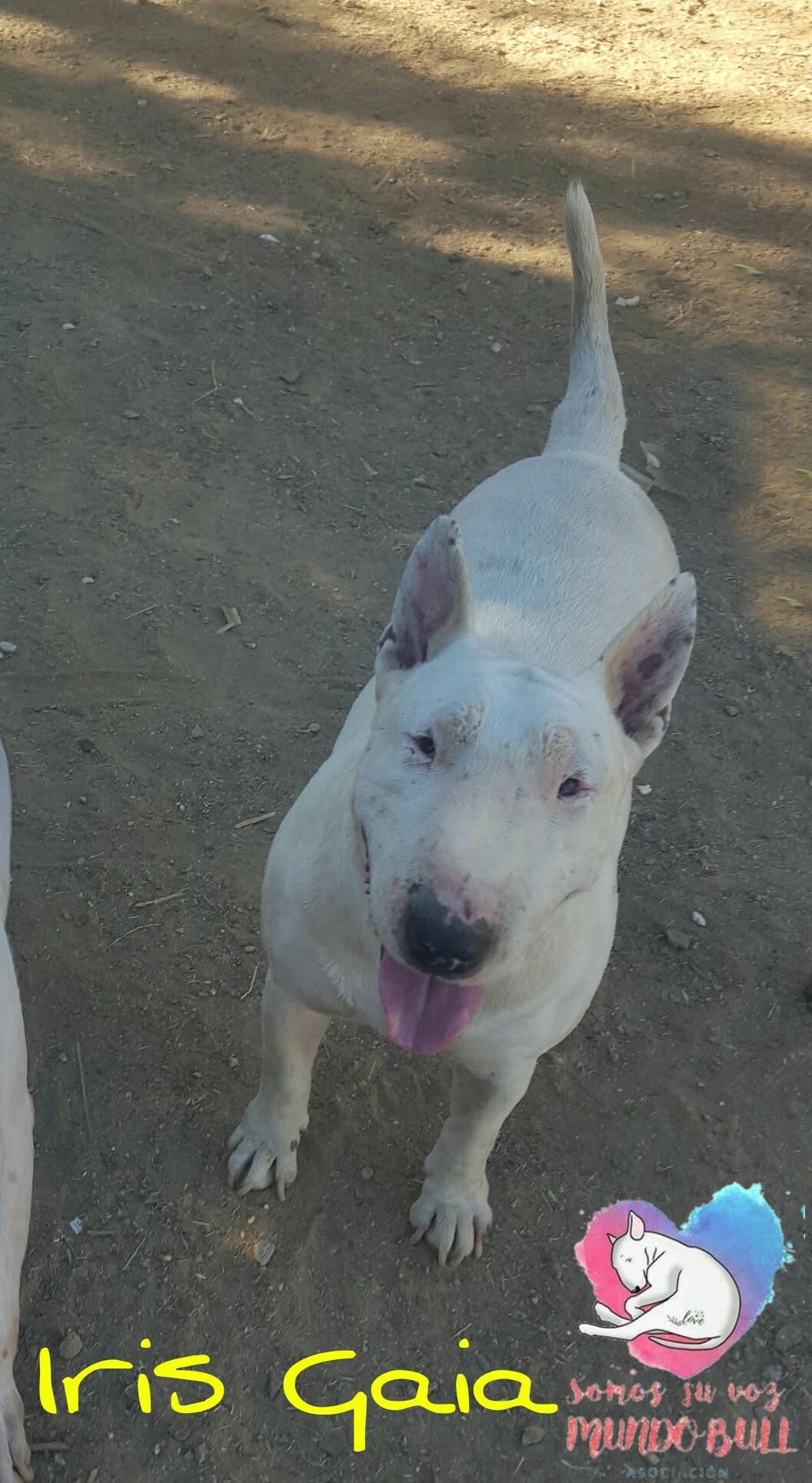Bull terrier hembra en adopción – Iris Gaia