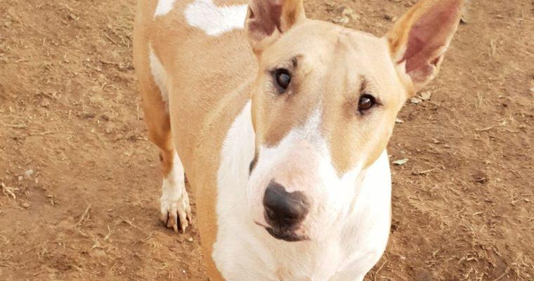 Kiara, Hembra Bull terrier 3 años la más buena en adopción