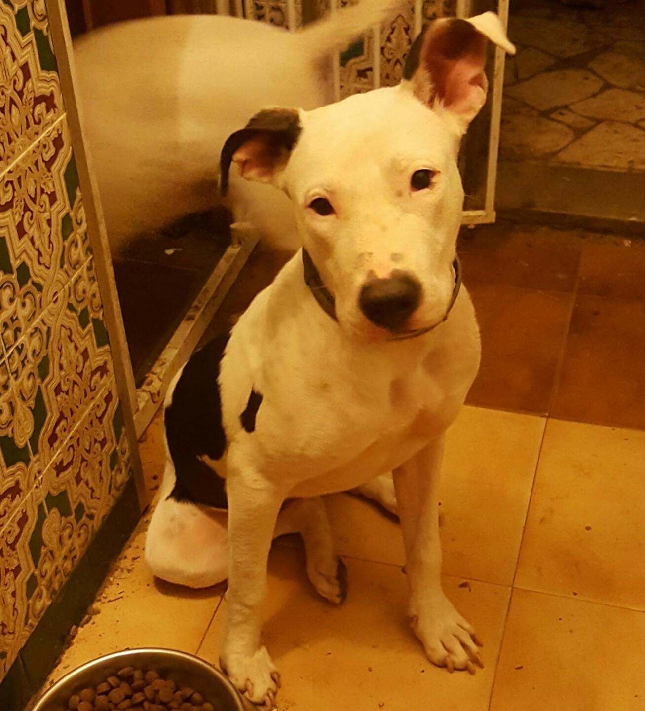 PATITA 7 meses, pit bull hembra, sociable con todos, muy cariñosa