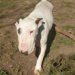Pipiolo, abuelete Bull terrier en adopción