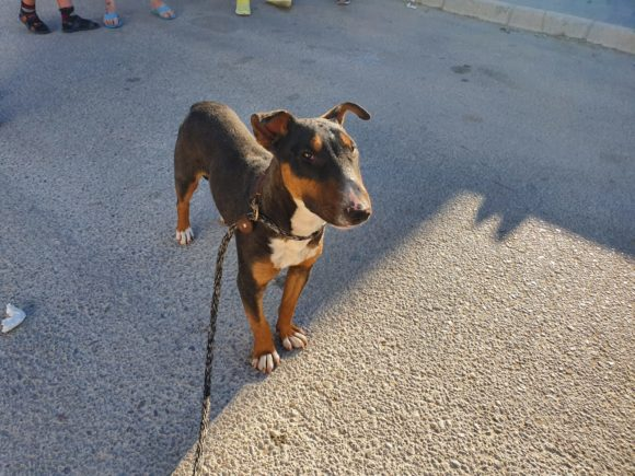 Bull terrier en adopción Regaliz