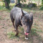 Tana, Bull terrier Hembra en adopción