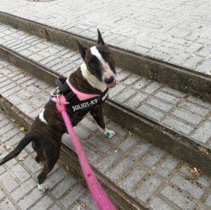 Xira, Bull terrier hembra tranquila y cariñosa en adopción