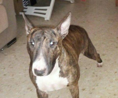 <b>Adoptada!</b>Canela Bull Terrier Hembra en adopción preciosa