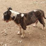 Chocolate bull terrier adulto en adopción