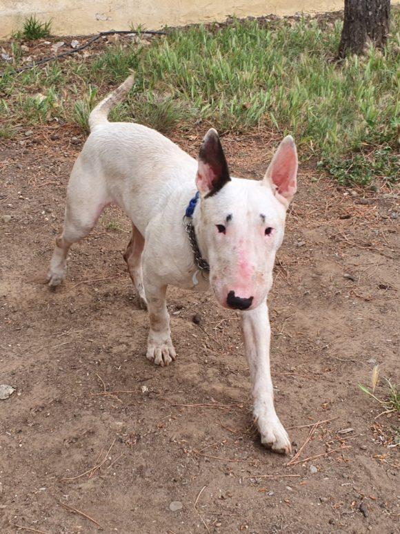 Coco Bull terrier macho en adopción es un amor