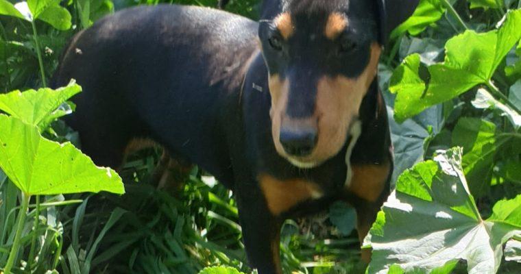 Bull terrier mix pinscher en adopción