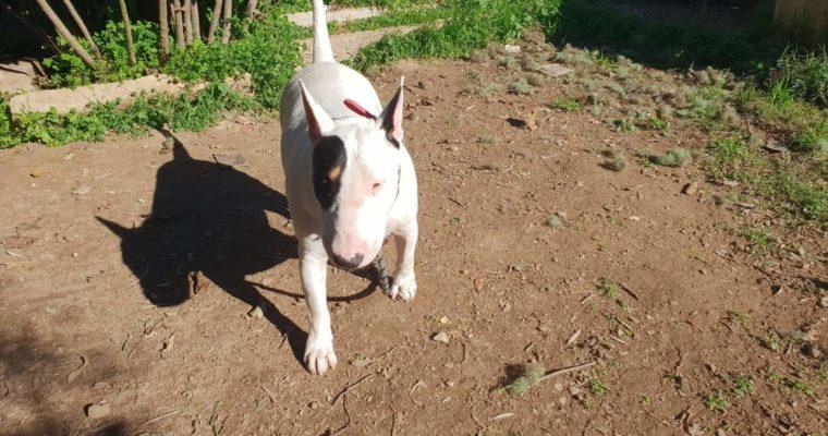 <b>ADOPTADA!</b> Daisy Bull Terrier en Adopción