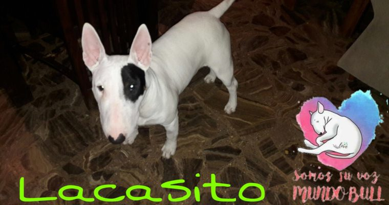 <b>ADOPTADO </b> – Bull terrier en adopción Lacasito