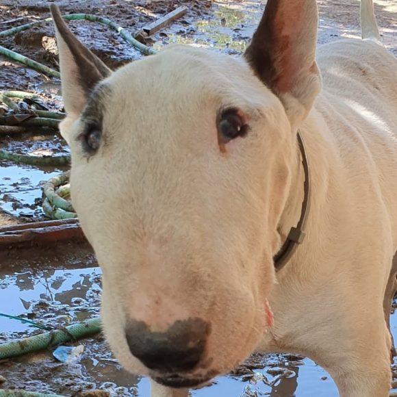 pipiolo bull terrier en adopción