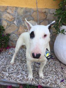 pistacho bull terrier de 10 meses en adopción