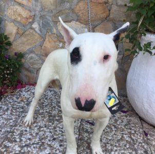 Bull terrier en adopción Pistacho de mi corazón