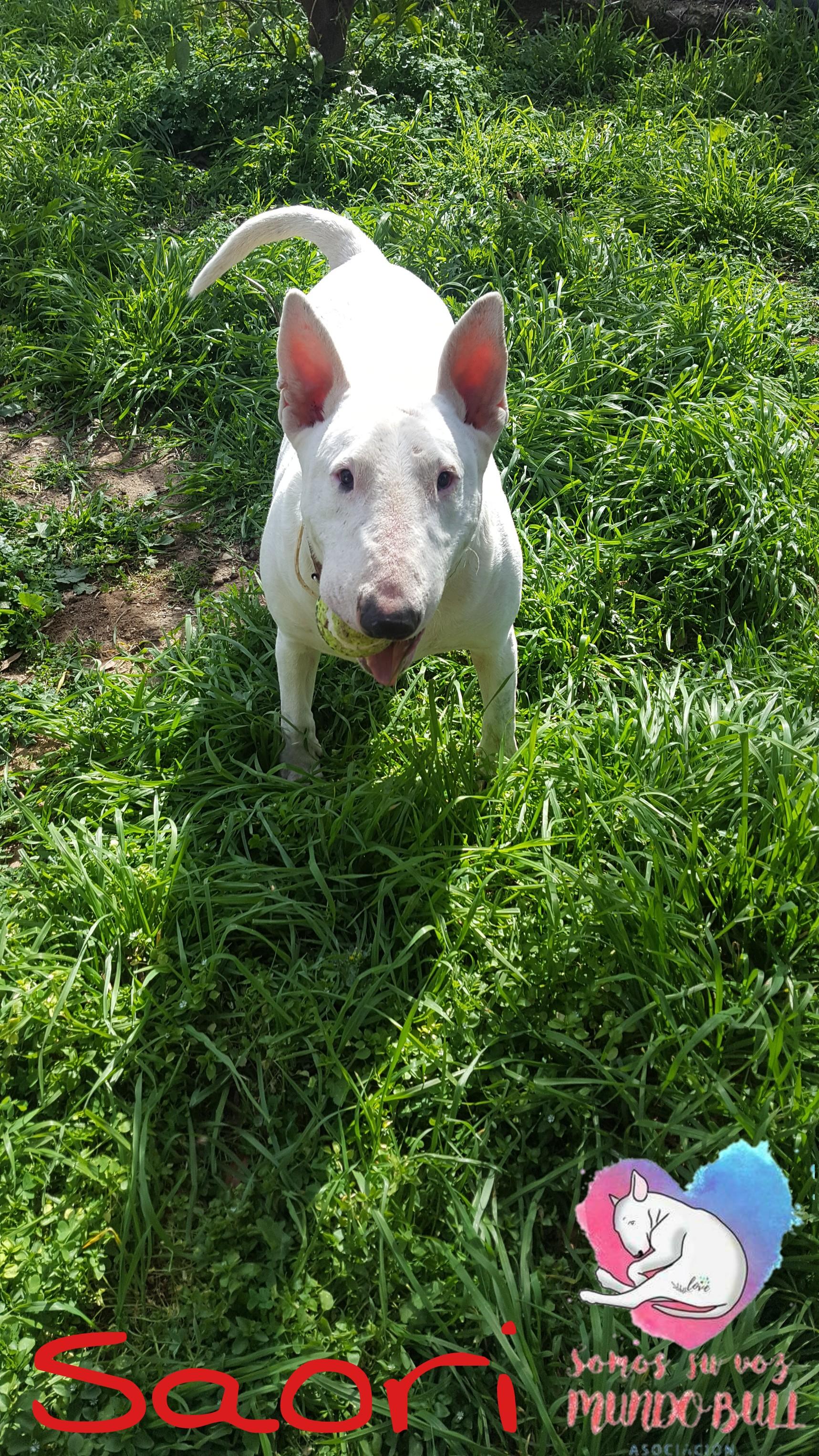 Bull terrier hembra en adopción Saori