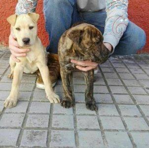 Cachorras Mix Sharpei Urgente Adopción