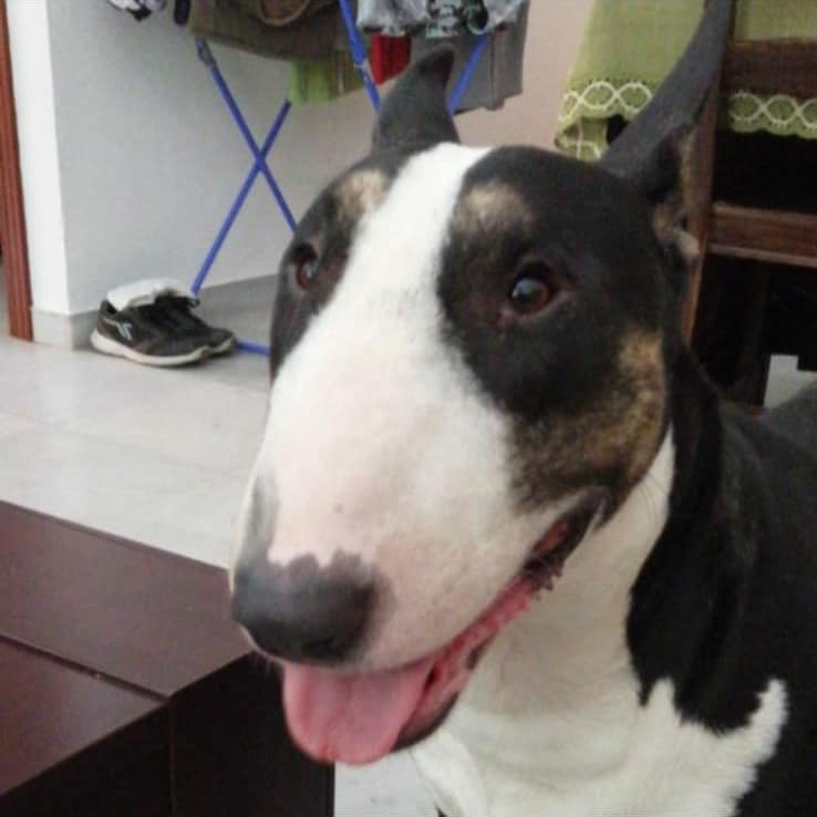 Odin en adopción nuevo nene en Mundo Bull terrier
