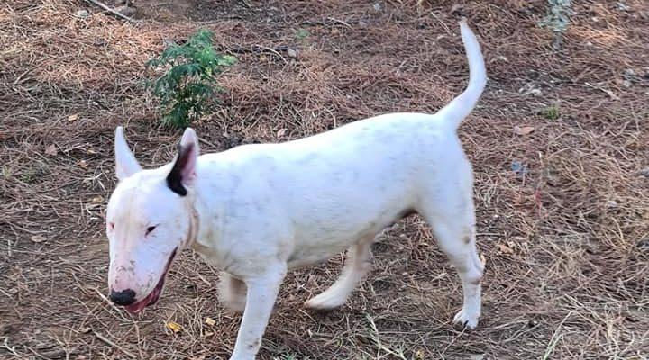 Sacha la nueva integrante de Mundo Bull terrier