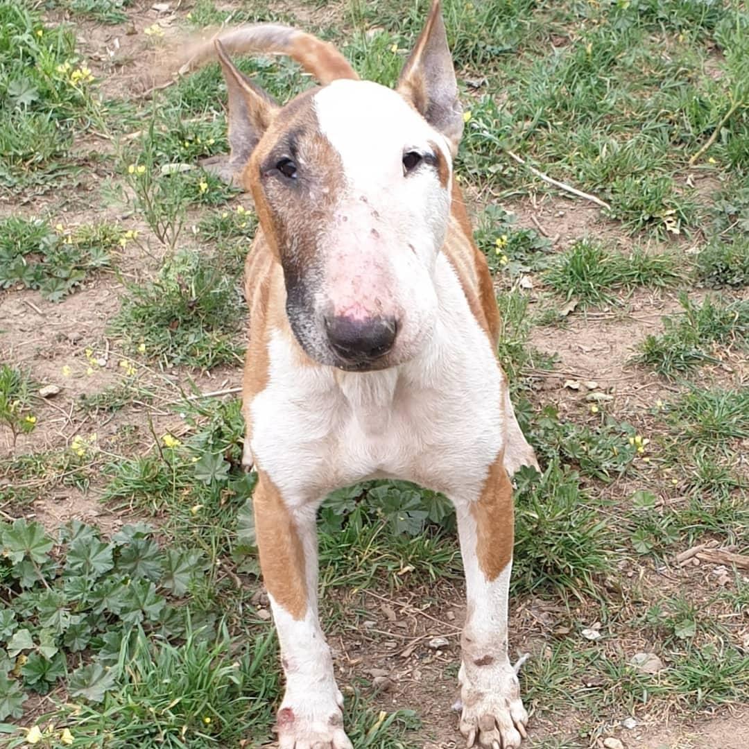 Hendrix Bull Terrier en adopción