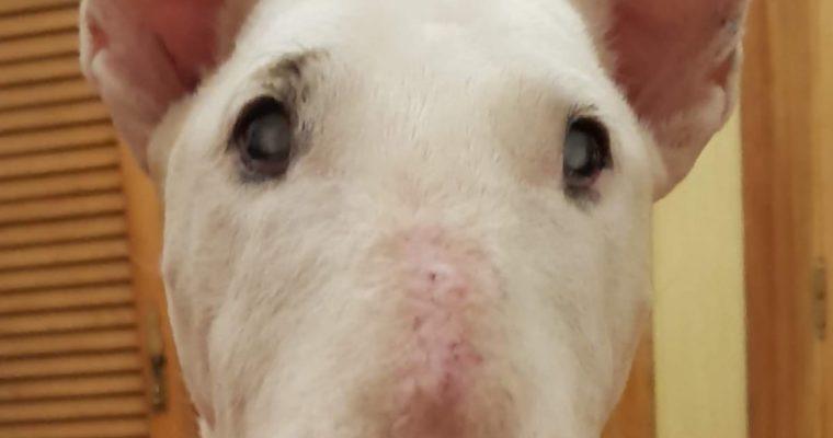 Bull terrier La abuela Girasol en adopción!
