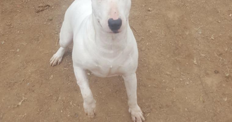 Bull terrier en adopción: Life, 1 año y medio, dulce y cariñosa, sociable con perros