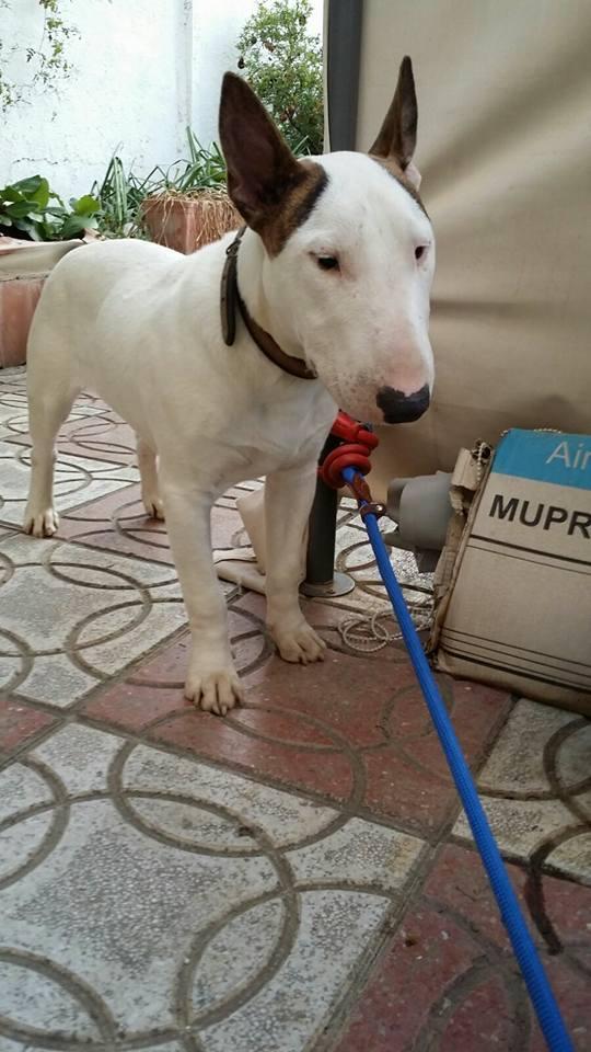 Mumuki macho cachorro 7 meses bull terrier en adopcion