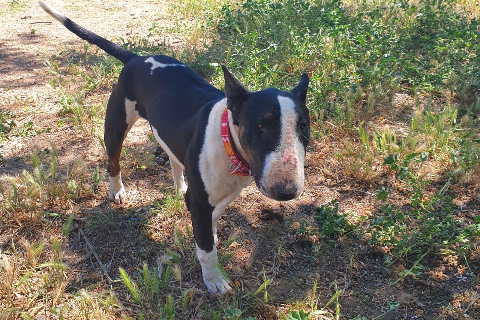 Natilla preciosa Bull terrier en Adopción
