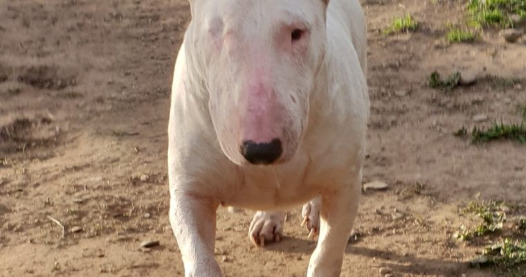 Piruleta, bull terrier miniatura sociable y juguetona en adopción