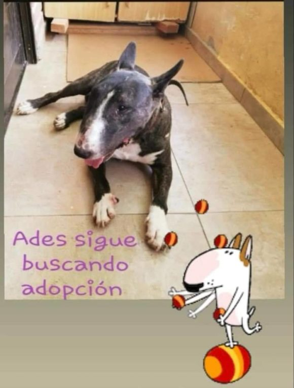 Ades bull terrier en adopción