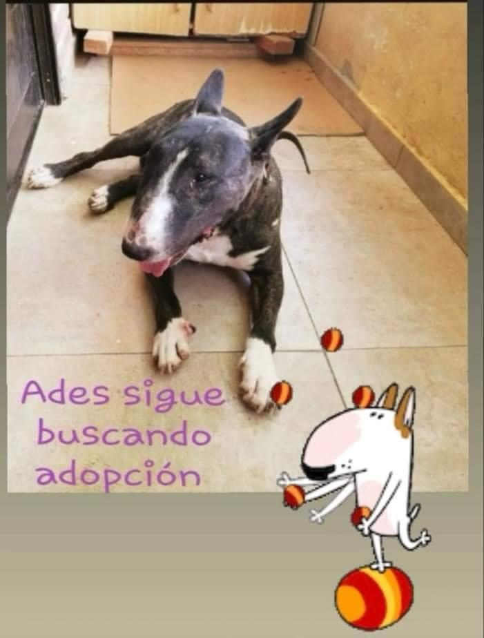 Ades, macho bullterrier de 5 años, buscamos adopción