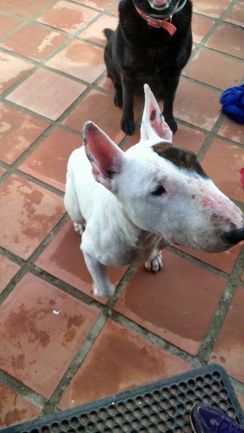 Se busca acogida en Sevilla para Biggie bull terrier macho