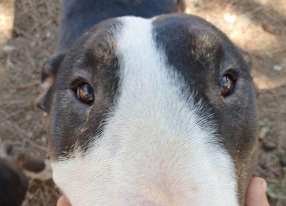 Brócoli bull terrier de un añito en adopción