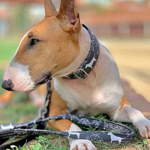 collar correa bull terrier