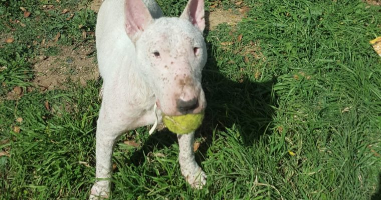 Bull terrier en adopción Jack Bueno y noble