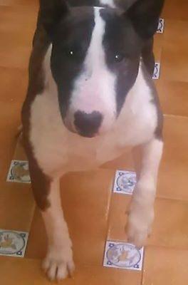 Ken Bull terrier minuatura busca familia