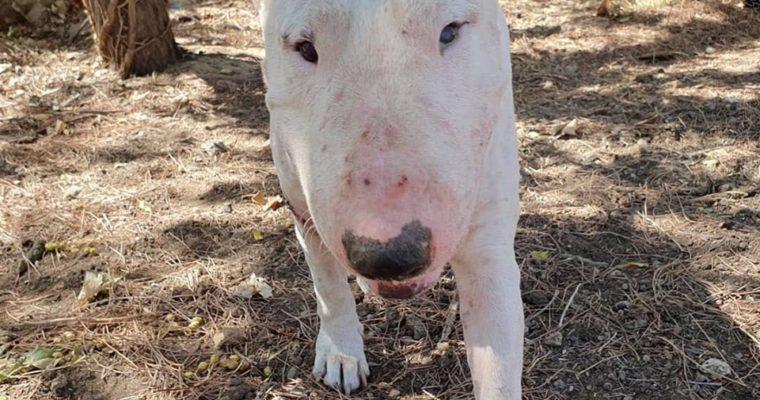 Kit-Kat bull terrier macho en adopción