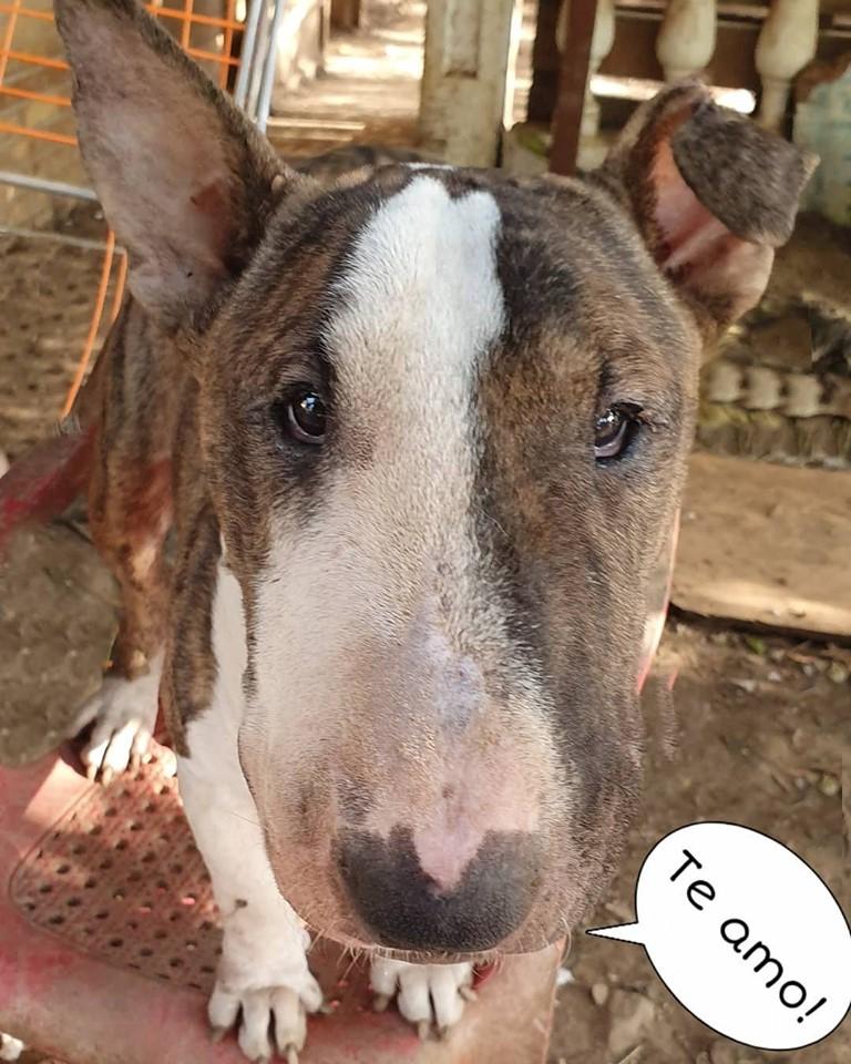 Chirimollo, bull terrier macho en adopción
