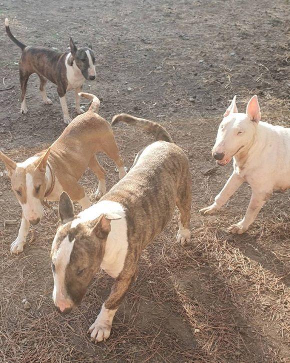 Chirimollo bull terrier macho en adopción
