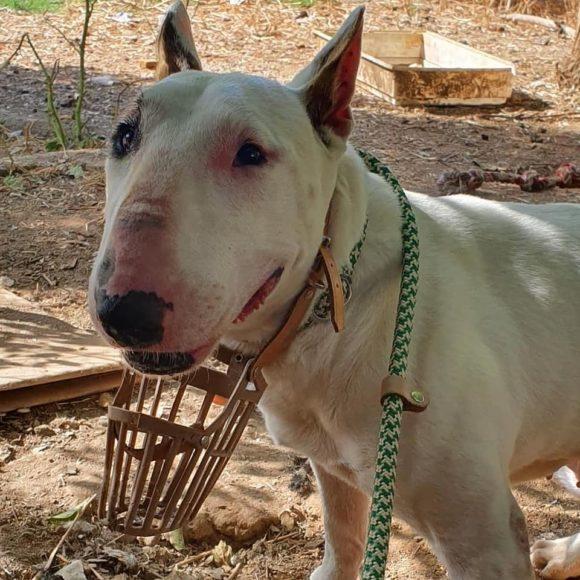 Piña, Bull terrier hembra en adopción