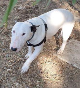 Rumba hembra bull terrier en adopción