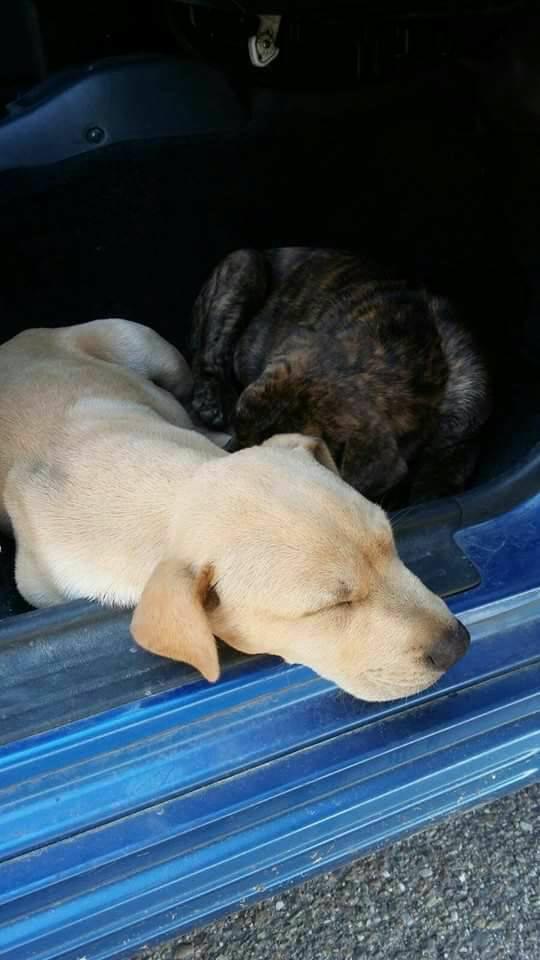 sharpei cachorritas
