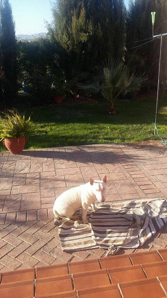 trufa bull terrier robada en códoba